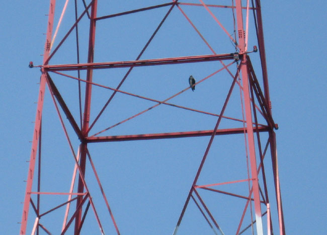 Osprey on WICC north tower